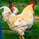 Gallo Sussex Big