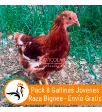 Oferta 8 Gallinas Jovenes Bignee 16 Semanas + Portes Incluidos
