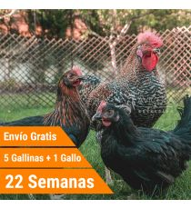 Oferta 5 Binoir + Gallo + Portes Incluidos