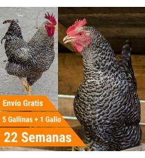Oferta 5 Barred Rock + Gallo + Portes Incluidos