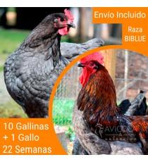Oferta 11 Biblue ® y un gallo. Portes Gratis