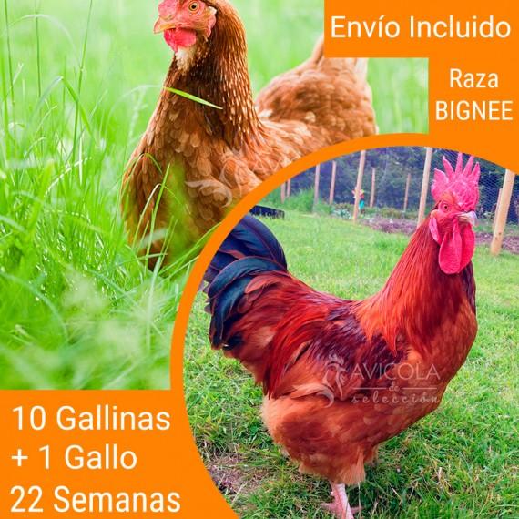 Oferta 11 Bignee + Gallo + Portes Gratis