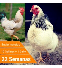 Oferta 11 Sussex + Gallo + Portes Incluidos
