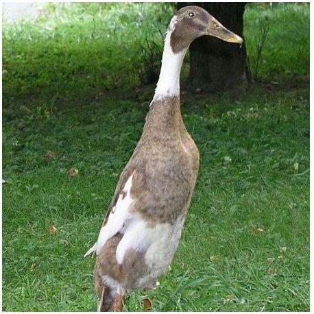 Pato Corredor indio Macho
