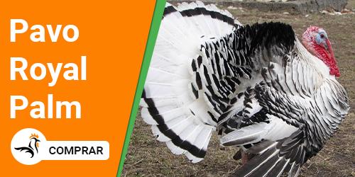 Pavo Royal Palm